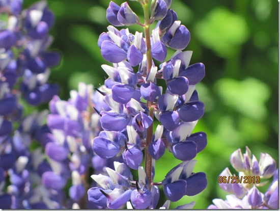 Lupine-Close-UP