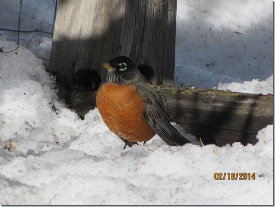Rockin'Robin