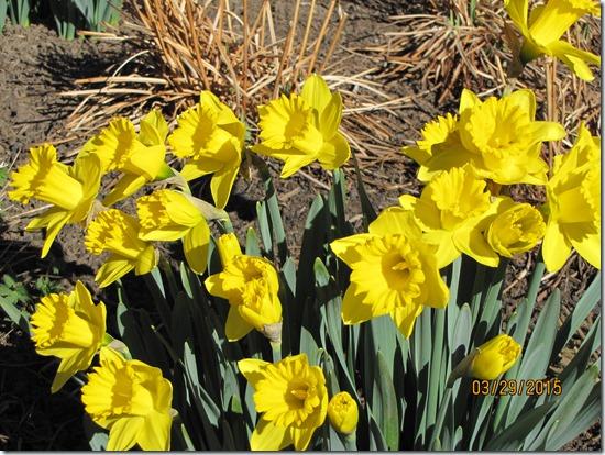 Daffodils-Narcissus-Close