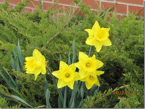 Daffodils-with-Spiderman