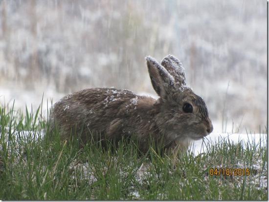 Snowy-Rabbit-Ears-19APR2015-1