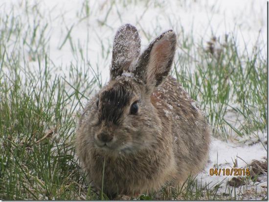 Snowy-Rabbit-Ears-19APR2015