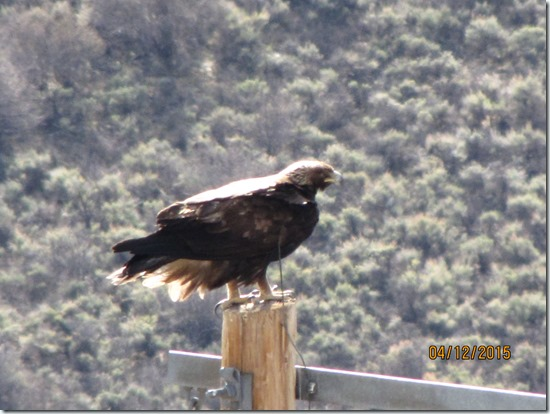 Well-Grounded-Golden-Eagle-12APR2015